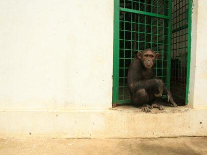 猩球崛起之猿力觉醒:真实的猩猩是如何越狱的